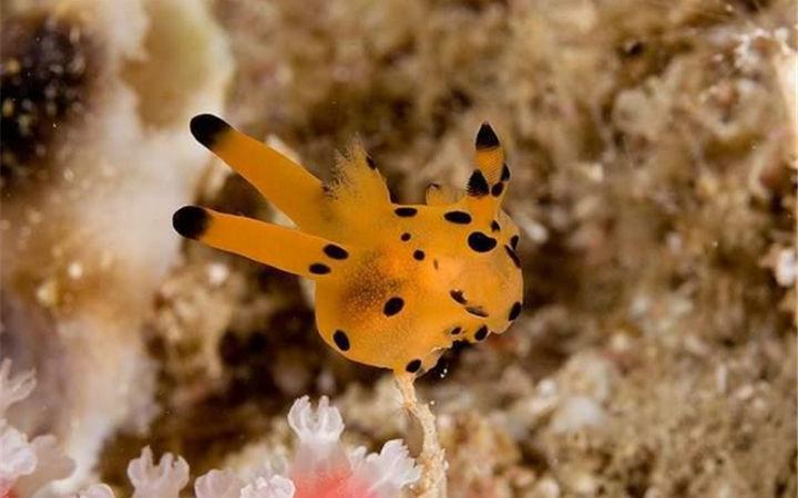 这个小东西叫海蛞蝓 我就想问问它在水底能放电吗